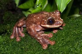 Rabb's Fringe-Limbed Tree Frog